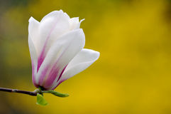 Magnolia Cylindrica Isolated on Yellow Royalty Free Stock Photography