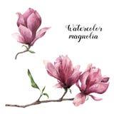 Magnolia d'aquarelle Illustration botanique florale peinte à la main d'isolement sur le fond blanc Fleur rose pour la conception Photographie stock libre de droits