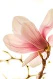 Magnolia dans l'éclairage de contrejour Photographie stock libre de droits