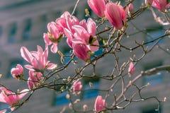 Magnolia dans la ville Image libre de droits