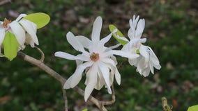 Magnolia de estrella blanca almacen de video