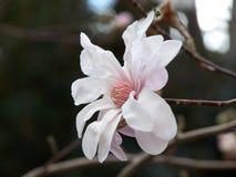 magnolia de fleur Photos stock