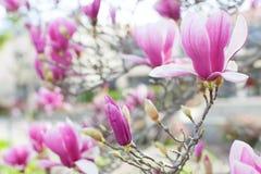 Magnolia de floraison Photo stock