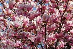 Magnolia de floraison image stock