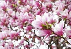 Magnolia de floraison Photos libres de droits