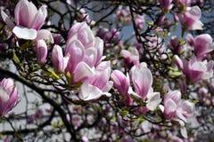 Magnolia de floraison au printemps Image stock