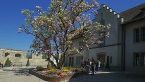 Magnolia de floraison d'arbre de magnolia, château de Laufen au-dessus des chutes du Rhin, chez Schaffhausen, la Suisse banque de vidéos