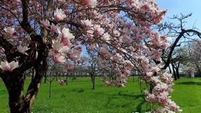 Magnolia de floraison d'arbre de magnolia banque de vidéos