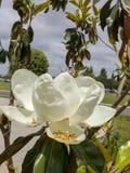 Magnolia de floraison de la Californie un jour nuageux Photo libre de droits