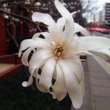 Magnolia de la ciudad Fotografía de archivo libre de regalías