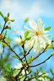 Magnolia de la estrella - Stellata imágenes de archivo libres de regalías