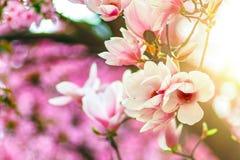 Magnolia de la flor en luz del contorno Fotografía de archivo libre de regalías