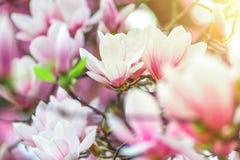 Magnolia de la flor que florece contra en luz del contorno Imagenes de archivo