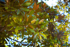 Magnolia de la fruta Imagen de archivo libre de regalías
