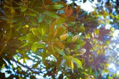 Magnolia de la fruta Foto de archivo libre de regalías