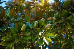 Magnolia de la fruta Fotografía de archivo