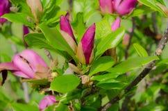 Magnolia de la planta Imagen de archivo