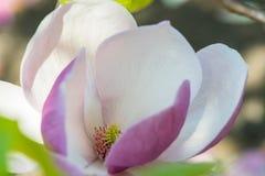 Magnolia in de lente Royalty-vrije Stock Foto