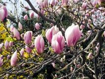 Magnolia, de magnoliavirginiana van typespecies stock afbeeldingen