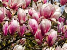 Magnolia, de magnoliavirginiana van typespecies stock afbeelding