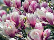 Magnolia, de magnoliavirginiana van typespecies royalty-vrije stock foto's
