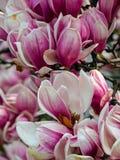 Magnolia, de magnoliavirginiana van typespecies royalty-vrije stock afbeeldingen