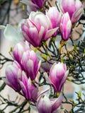 Magnolia, de magnoliavirginiana van typespecies stock fotografie