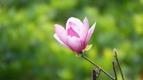 Magnolia de platillo fotos de archivo