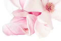 Magnolia, de roze macro van de de lentebloem Royalty-vrije Stock Foto