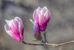Magnolia de soucoupe en premier ressort photo libre de droits