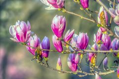 Magnolia de soucoupe en premier ressort photographie stock