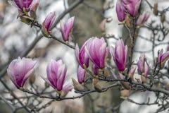 Magnolia de soucoupe en premier ressort images stock