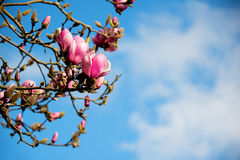 Magnolia de tulipe Photos stock