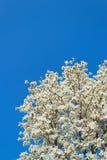 Magnolia de Yulan Image libre de droits