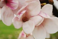 Magnolia del tulipán Imagen de archivo libre de regalías