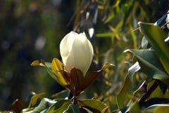 Magnolia - den namnges efter den franska botaniker Pierre Magnol fotografering för bildbyråer