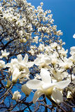 magnolia denudata Στοκ φωτογραφίες με δικαίωμα ελεύθερης χρήσης