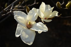 Magnolia denudata. The magnolia denudata in blossomy in early spring Royalty Free Stock Image