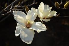 Magnolia denudata Royalty Free Stock Image
