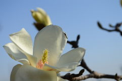 Magnolia denudata with bug. The magnolia denudata in blossomy with bug in early spring Royalty Free Stock Image