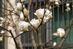 Magnolia denudata flowers. Branch of Magnolia denudata flowers in spring Stock Photo