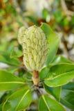 Magnolia denudata Stock Photos