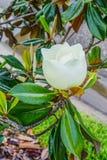 Magnolia denudata Stock Photography