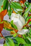 Magnolia denudata Royalty Free Stock Photography
