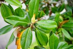 Magnolia denudata tree bud. Magnolia denudata tree small bud: taken in Florida stock images