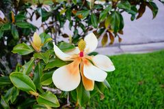 Magnolia denudata tree and flower. Magnolia denudata tree and white flower: taken in Florida stock photography