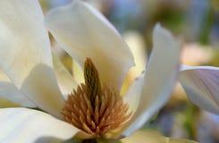 Magnolia Denuta Gere, white China magnolia. A beautiful magnolia bloom on tree. Magnolia Denuta Gere, white China magnolia macro, spring flower blooming stock photos