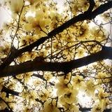 Magnolia di fioritura Fotografia Stock Libera da Diritti