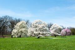 Magnolia di stella Fotografia Stock