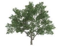 Magnolia di Sweetbay (virginiana della magnolia) Fotografia Stock Libera da Diritti